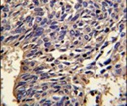 IL-1 alpha Antibody (PA5-25921)
