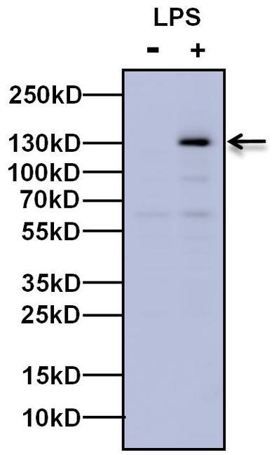 iNOS Antibody (PA1-036) in Western Blot