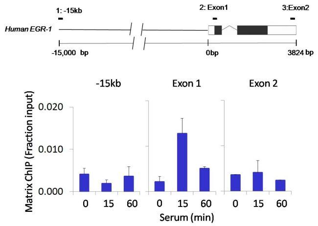 IRAK1 Antibody (700025) in ChIP assay