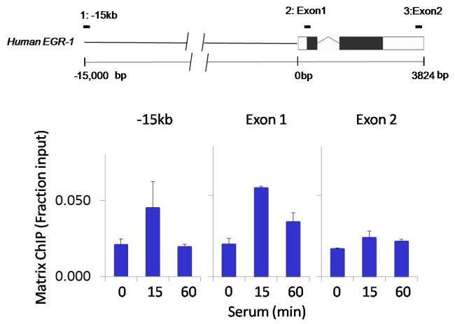 IRAK4 Antibody (700026) in ChIP assay