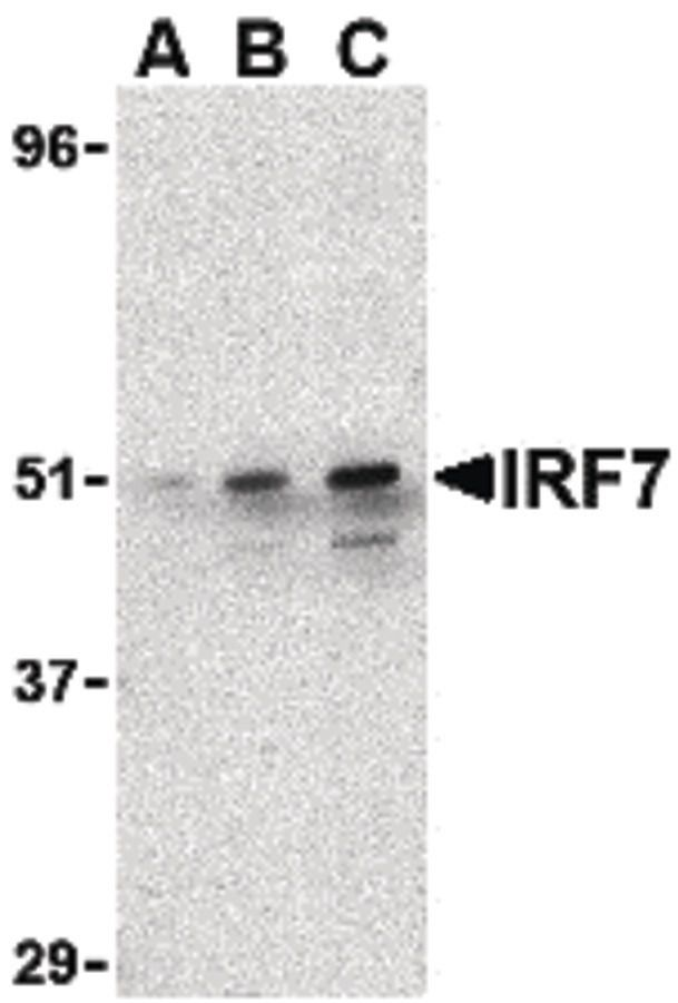 IRF7 Antibody (PA5-20280) in Western Blot