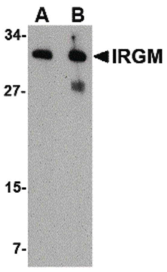 IRGM Antibody (PA5-20508) in Western Blot