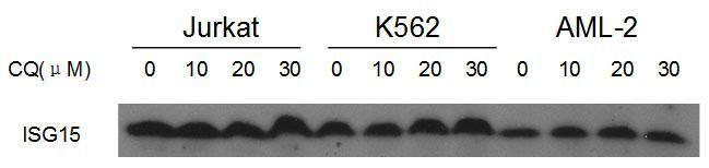 ISG15 Antibody (PA5-11268) in Western Blot