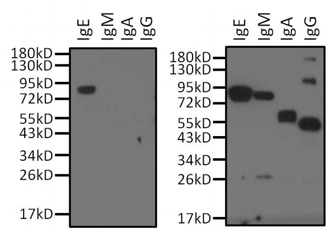 Human IgE Secondary Antibody (MII0201) in Western Blot