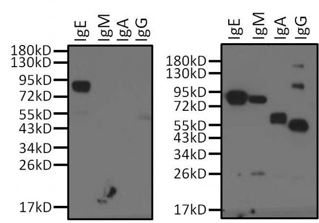 Human IgE Secondary Antibody (MII0204PG) in Western Blot