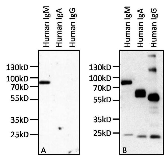 Human IgM Secondary Antibody (MII0402)