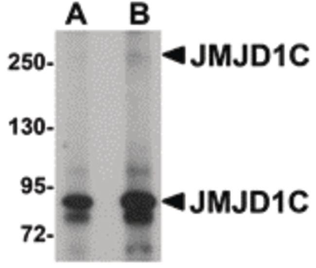 JMJD1C Antibody (PA5-20804) in Western Blot
