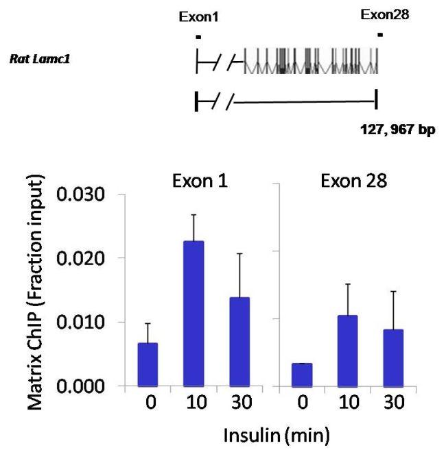 JunB Antibody (PA1-835) in ChIP assay