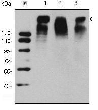 Ki-67 Antibody (MA5-15690) in Western Blot