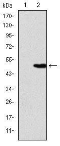 KID Antibody (MA5-15912) in Western Blot
