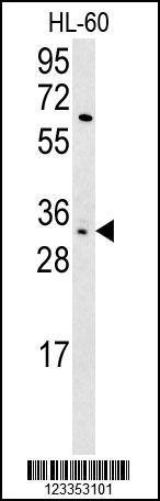 KIR2DS3 Antibody (PA5-25667) in Western Blot