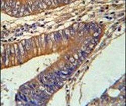 KLC3 Antibody (PA5-25268) in Immunohistochemistry