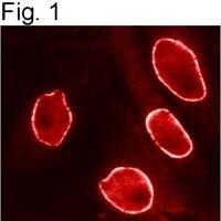 Importin beta-1 Antibody (MA3-070) in Immunofluorescence