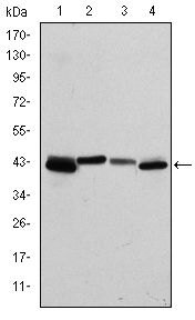 Cytokeratin 19 Antibody (MA5-15884) in Western Blot