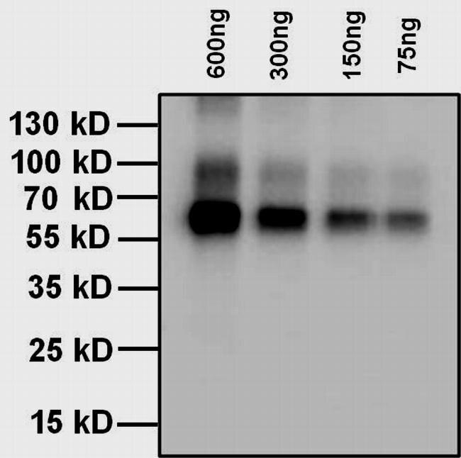 L-Thyroxine T4 Antibody (MA5-14716) in Western Blot