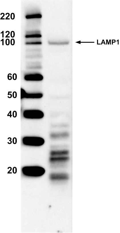 LAMP1 Antibody (PA1-654A) in Western Blot