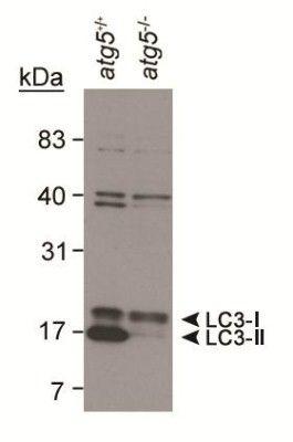 LC3A/LC3B Antibody (PA1-16931) in Western Blot