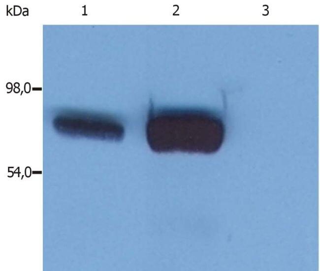 SLP76 Antibody (MA1-19369)