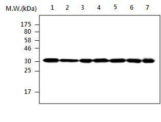 LDHA Antibody (MA5-17247) in Western Blot