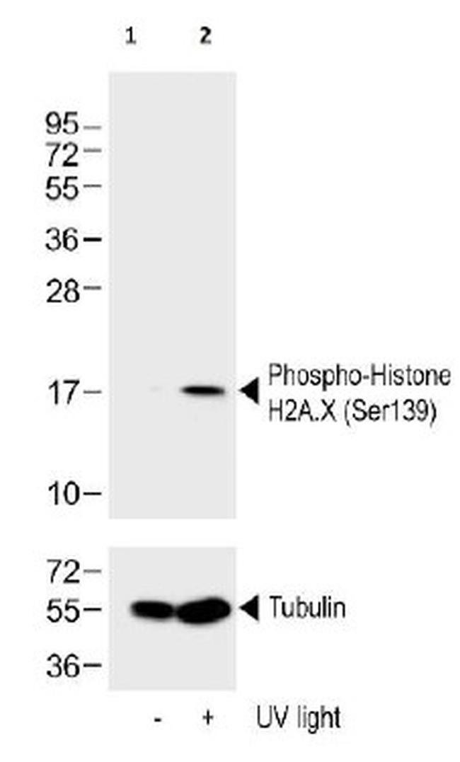 Phospho-Histone H2A.X (Ser139) Antibody (LF-PA0025) in Western Blot
