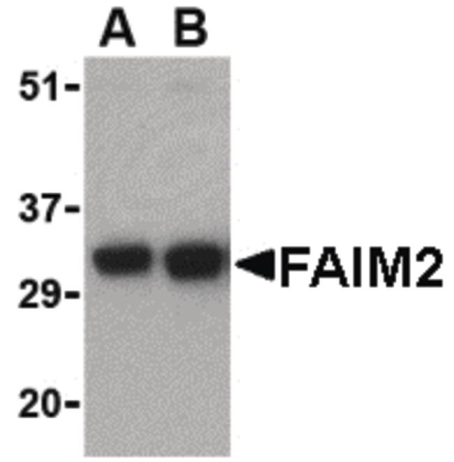 LFG Antibody (PA5-20311) in Western Blot