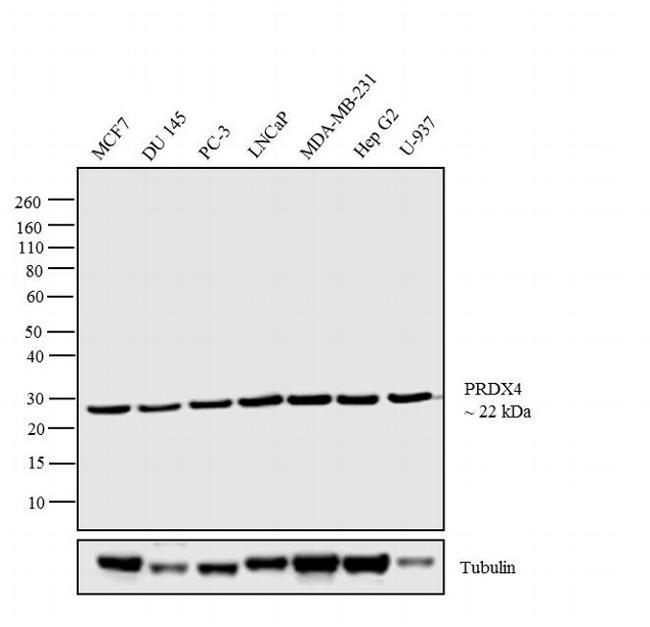 PRDX4 Antibody (LF-MA0014) in Western Blot