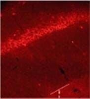 Glycine Binding Protein Antibody (PA3-101)
