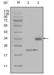 LPA Antibody (MA5-15474) in Western Blot
