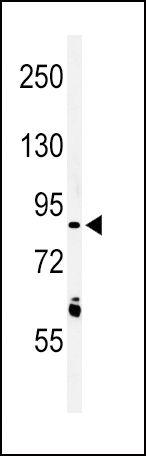 LRRN3 Antibody (PA5-24841)