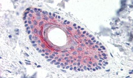 LYPD3 Antibody (PA5-32910)