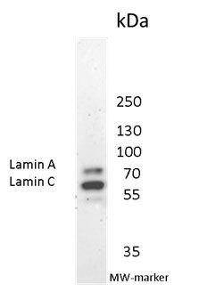 Lamin A/C Antibody (MA1-06102) in Western Blot