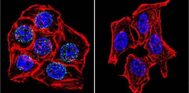 Lamin A/C Antibody (MA3-1000) in Immunofluorescence