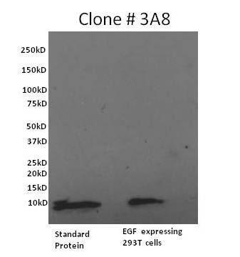 EGF Antibody (M806B) in Western Blot