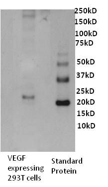 VEGF Antibody (M808) in Western Blot