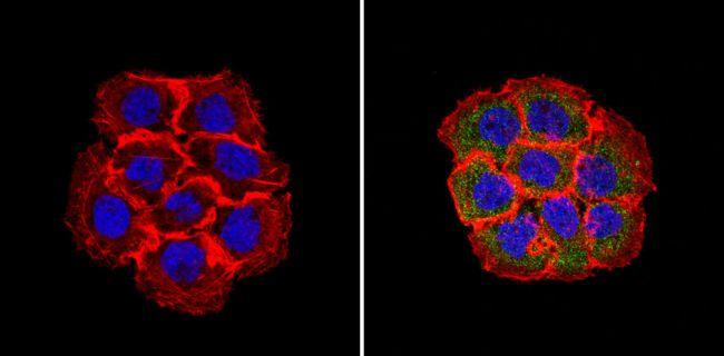 RhoA/RhoB/RhoC Antibody (MA1-011) in Immunofluorescence
