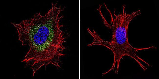 Pan Ras Antibody (MA1-012X) in Immunofluorescence