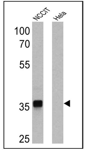 SOX2 Antibody (MA1-014-HRP)