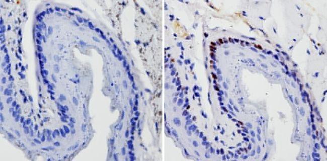 SOX2 Antibody (MA1-014) in Immunohistochemistry (Paraffin)