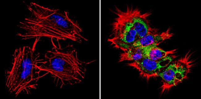 LIN28A Antibody (MA1-016-D488)