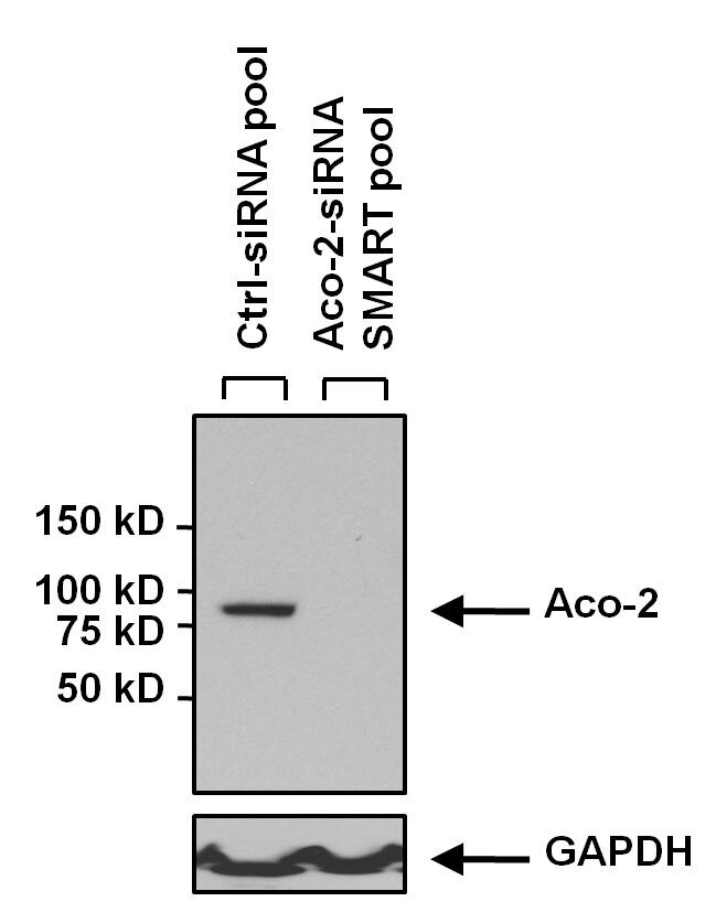 Aconitase 2 Antibody (MA1-029) in Western Blot