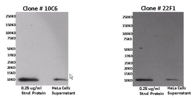 CXCL11 Antibody (MA1033) in Western Blot
