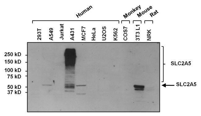 SLC2A5 Antibody (MA1-036) in Western Blot