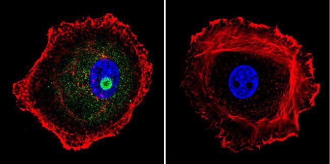 STAT1 Antibody (MA1-037X) in Immunofluorescence