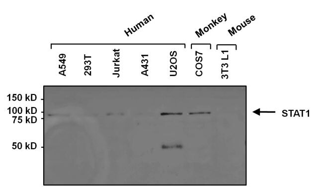 STAT1 Antibody (MA1-037) in Western Blot