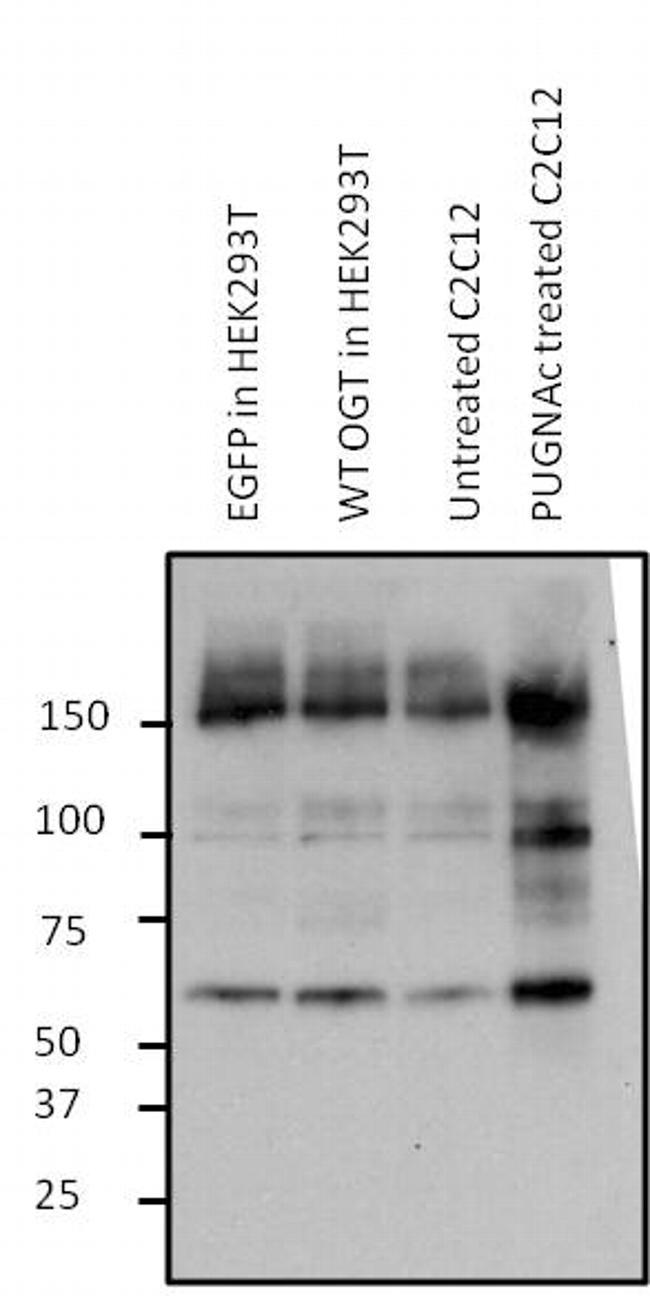 OGT Antibody (MA1-039) in Western Blot
