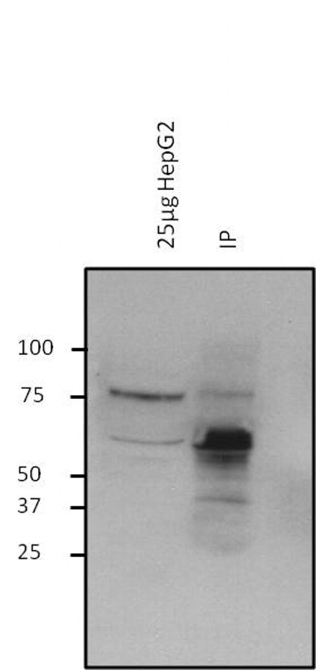 O-linked N-acetylglucosamine (O-GlcNAc) Antibody (MA1-040) in Immunoprecipitation