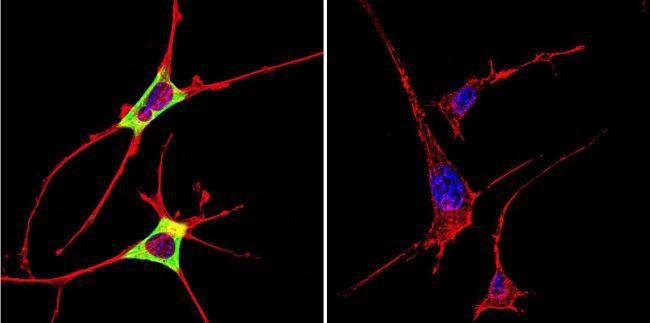Cytohesin 2 Antibody (MA1-061)