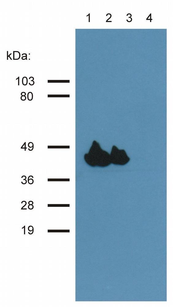 Actin Antibody (MA1-10046)