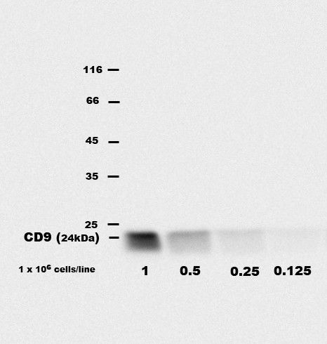 CD9 Antibody (MA1-10309) in Western Blot
