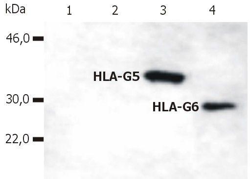 HLA-G (soluble) Antibody (MA1-10357) in Western Blot